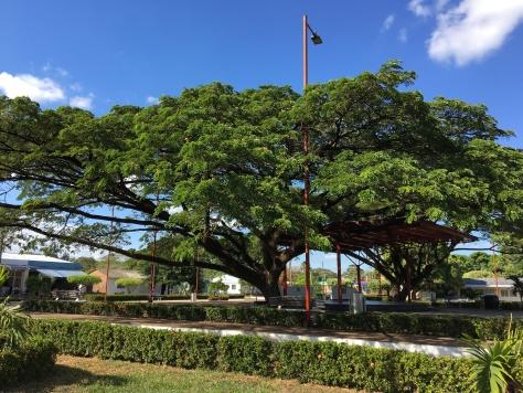 Et spesielt tre på plazaen